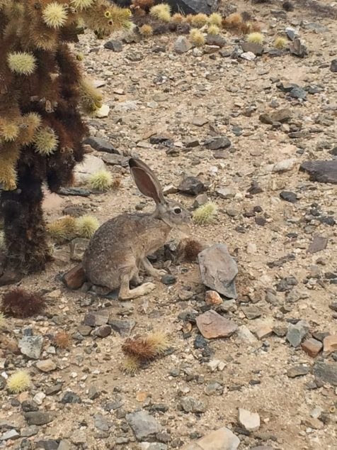 Desert Hare